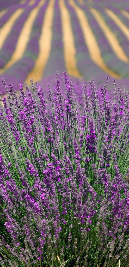 Lavender Fields, About Page for Laura Scott, Channel, Healer and Soul Specialist