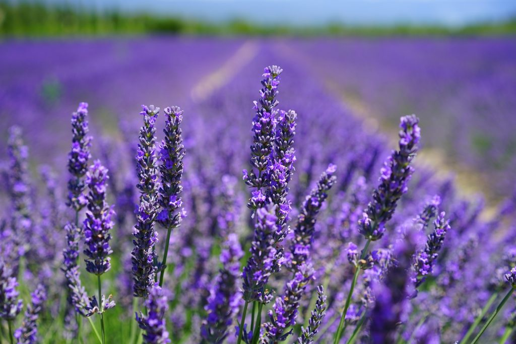 Lavender Fields, Gift Certificates for Laura Scott, Channel, Healer and Soul Specialist
